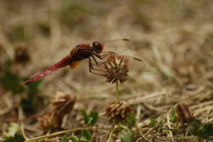 Crocothémis écarlate mâle (Crocothemis erythraea)<br> Espace Naturel Sensible du Marais d'Épisy