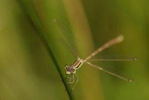 Le Leste barbare mâle (Lestes barbarus)<br> Espace Naturel Sensible du Marais d'Épisy