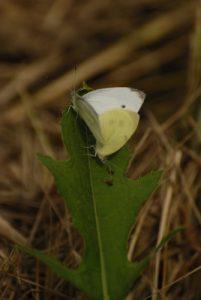 Papillon -  Réserve du Marais d'Episy