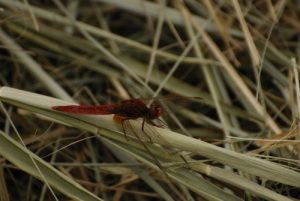 Crocothémis écarlate mâle (Crocothemis erythraea) -  Réserve du Marais d'Episy