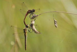 Tandem de libellules Sympétrum sanguin (Sympetrum sanguineum)<br> Espace Naturel Sensible du Marais d'Épisy