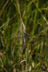 Æschne affine (Aeshna affinis)<br> [Critères : Dessin S2 &amp; S9, yeux bleu vif, petites bandes antéhumérales]<br> Espace Naturel Sensible du Marais d'Épisy