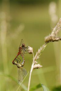 Accouplement de libellules Sympétrum sanguin (Sympetrum sanguineum)<br> Espace Naturel Sensible du Marais d'Épisy
