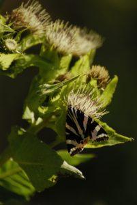 L'Écaille chinée (Euplagia quadripunctaria)<br> Espace Naturel Sensible du Marais d'Episy
