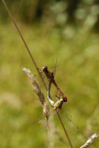 Accouplement de Sympétrums striés (Sympetrum striolatum)<br> [Critères : bandes jaunes sur le thorax, pattes noires rayées de jaune]<br> Espace Naturel Sensible du Marais d'Épisy