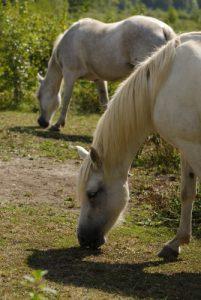 Le cheval (Equus ferus caballus ou Equus caballus) pour l'entretien naturel du marais<br> Espace Naturel Sensible du Marais d'Épisy