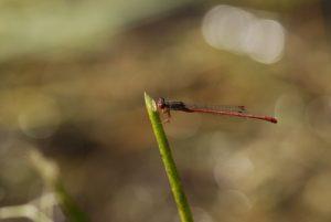 Libellule Nymphe au corps de feu (Pyrrhosoma nymphula)<br> Espace Naturel Sensible du Marais d'Épisy