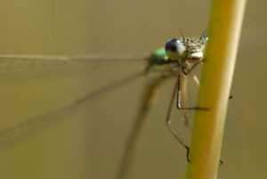 Tadem de libellules Leste verdoyant (Lestes virens)<br> Espace Naturel Sensible du Marais d'Épisy