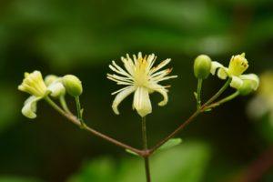 Clématite sauvage (Clematis Vitalba)<br> L'Espace Naturel Sensible du parc de Livry
