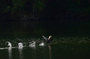 La Foulque macroule (Fulica atra)<br> L'Espace Naturel Sensible du parc de Livry