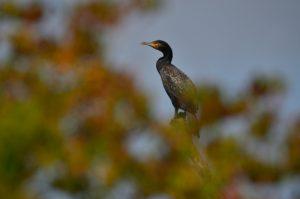 Le Grand Cormoran, ou Cormoran commun (Phalacrocorax carbo) en bord de Seine<br> L'Espace Naturel Sensible du parc de Livry