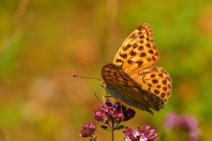 Le Tabac d'Espagne (Argynnis paphia)<br> L'Espace Naturel Sensible du parc de Livry