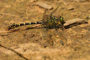 L'Onychogomphus à pinces (Onychogomphus forcipatus)<br> L'Espace Naturel Sensible du parc de Livry