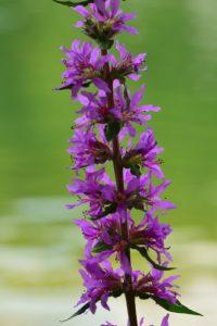 La Salicaire commune  (Lythrum salicaria)<br> L'Espace Naturel Sensible du parc de Livry