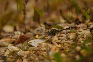 L'Onychogomphus à pinces (Onychogomphus forcipatus) L'Espace Naturel Sensible du parc de Livry