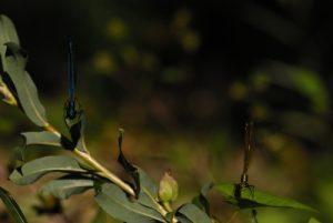 Caloptéryx éclatant mâle (à gauche) et femelle (à droite) (Calopteryx splendens)<br> Espace Naturel Sensible de la Plaine de Sorques