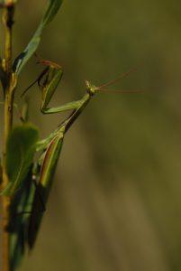 La Mante religieuse (Mantis religiosa)<br> Espace Naturel Sensible de la Plaine de Sorques