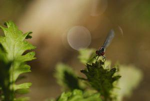 La Naïade aux yeux rouges (Erythromma najas) La plaine de Sorques Forêt de Fontainebleau