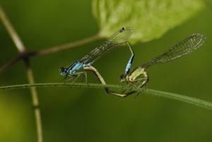 Accouplement d'Ischnures élégantes (Ischnura elegans)<br> Espace Naturel Sensible de la Plaine de Sorques