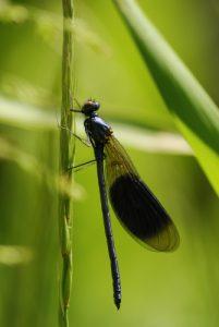 Le Caloptéryx éclatant mâle (Calopteryx splendens)<br> Espace Naturel Sensible de la Plaine de Sorques
