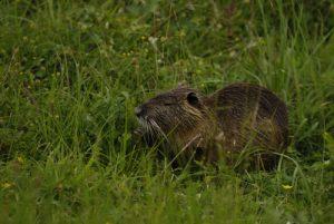 Le Ragondin ou castor des marais (Myocastor coypus)<br> Espace Naturel Sensible de la Plaine de Sorques