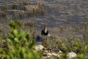 Le Vanneau huppé (Vanellus vanellus)<br> Espace Naturel Sensible de la Plaine de Sorques