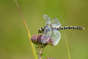 Libellule femelle Onychogomphe à pinces (Onychogomphus forcipatus)<br> Espace Naturel Sensible de la Plaine de Sorques