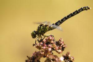 Onychogomphe à pinces mâle (Onychogomphus forcipatus)<br> [Critères : tâche jaune sur le vertex]<br> Espace Naturel Sensible de la Plaine de Sorques