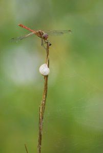 Libellule mâle Sympétrum sanguin (Sympetrum sanguineum) <br> Espace Naturel Sensible de la Plaine de Sorques