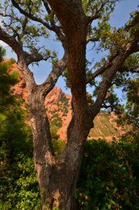 Le chêne-liège (Quercus suber) -  Rocher de St-Barthélemy -  Réserve biologique de l'Esterel
