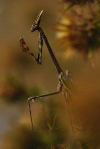 L'Empuse commune (Empusa pennata)<br> Réserve biologique de l'Estérel