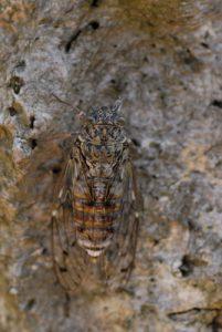 La Cigale grise (Cicada orni)<br>  Réserve biologique de l'Esterel
