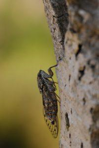 Cigale -  Réserve biologique de l'Esterel