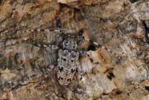 Acanthodère à fémurs renflés (Aegomorphus clavipes)<br> Réserve biologique de l'Esterel