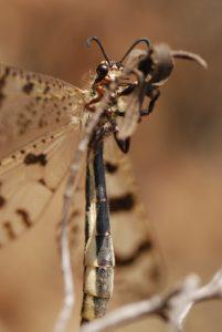 Le Fourmilion géant (Palpares libelloides) -  Rocher de St-Barthélemy -  Réserve biologique de l'Esterel