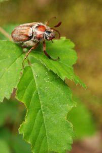 Hanneton commun (Melolontha melolontha)<br> Forêt de Fontainebleau