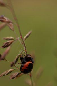 Araignée Napoléon (Synaema globosum) La plaine de Chamfroy Forêt de Fontainebleau