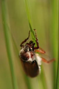 Le Hanneton commun (Melolontha melolontha)<br> Forêt de Fontainebleau