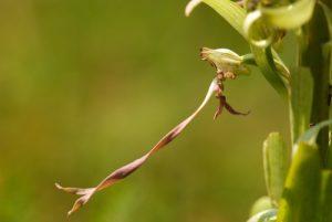 Orchidée Orchis bouc (Himantoglossum hircinum)<br> La Plaine de Chamfroy<br> La Forêt de Fontainebleau