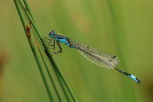 Ischnure élégante mâle (Ischnura elegans)<br> Forêt domaniale de Fontainebleau