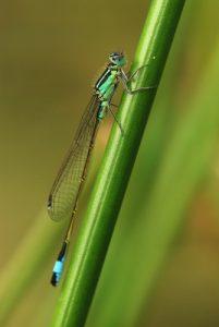 Agrion Ischnure élégante mâle (Ischnura elegans)<br>