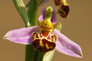 Orchidée Ophrys abeille (Ophrys apifera)<br> La Plaine de Chamfroy<br> Forêt de Fontainebleau
