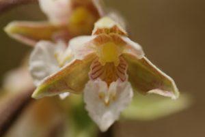 Orchidée Epipactis des marais (Epipactis palustris)<br> La Plaine de Chamfroy<br> Forêt de Fontainebleau