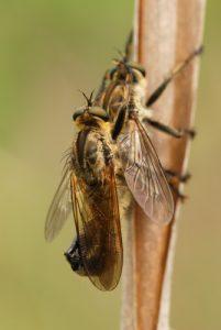 Mouche prédatrice du genre Asilide (Machimus fimbriatus)<br> Ses grandes pattes lui sont utiles pour capturer au  vol ses proies (diptères, hyménoptères, ...).<br> Posée, elle transperce puis aspire leurs tissus internes à l'aide de son rostre dur et pointu.