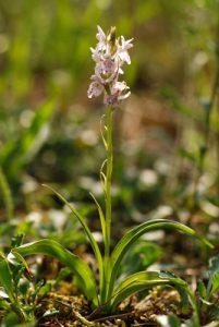 Orchis tâcheté (Dactylorhiza maculata)<br> La Plaine de Chamfroy<br> Forêt de Fontainebleau