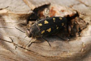 Le Bupestre à 8 macules (Buprestis octoguttata)<br> Plaine de Chamfroy - Forêt de Fontainebleau