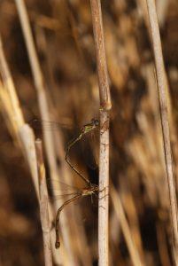 Accouplement de Lestes verts (Leste viridis)<br> Plaine de Chanfroy<br> Forêt de Fontainebleau