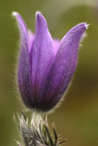 Anémone pulsatille (Pulsatilla vulgaris)<br> Forêt de Fontainebleau
