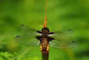Libellule déprimée femelle (Libellula depressa)<br> Mare aux Evées<br> Forêt de Fontainebleau