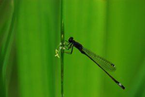 Ischnure élégante femelle (Ischnura elegans)<br> [Clé d'identification : pronotum redressé]<br> Mare aux Evées<br> Forêt de Fontainebleau